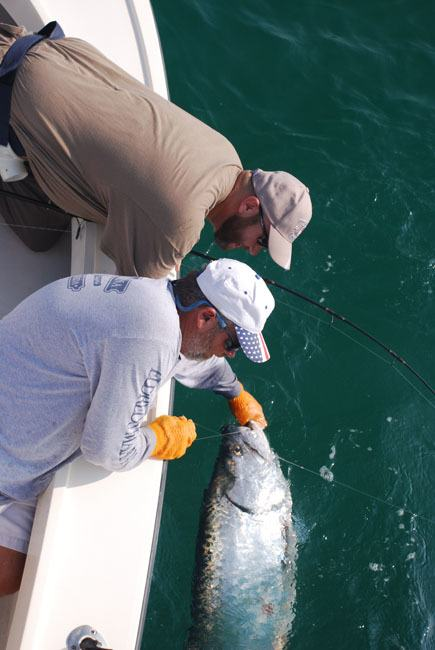 Tarpon Pulled Alongside Boat