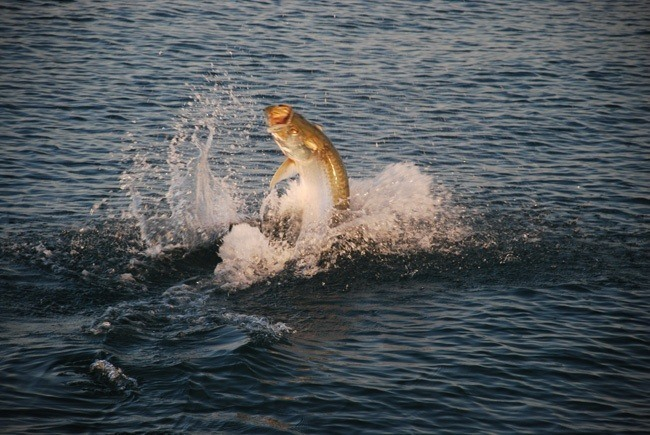 Tarpon Jumping in Light of Sunset